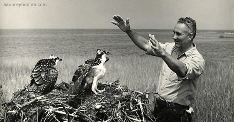 Gilbert Klingel ospreys